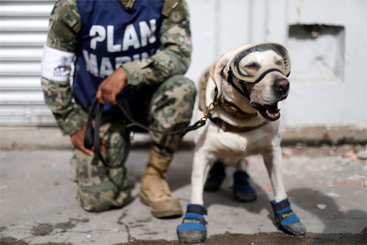 Frida le labrador de la Navy Mexicaine