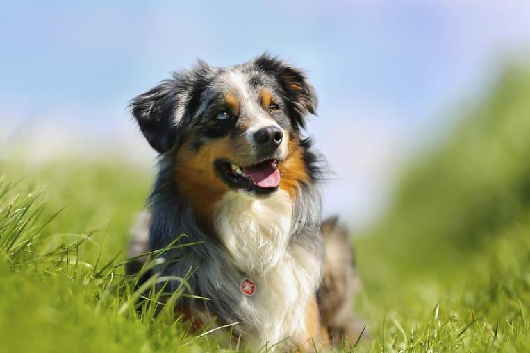 Le caractère du chien de race Borsky