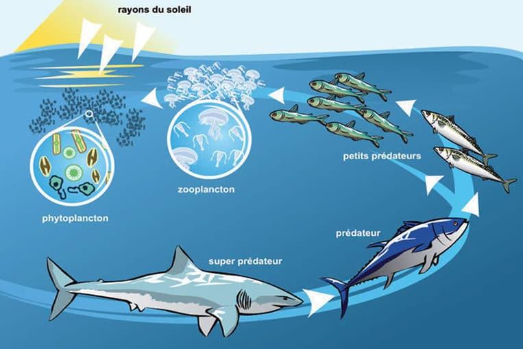 Les requins aident à réguler les réseaux alimentaires marins