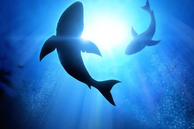 Certains requins aident à atténuer le changement climatique