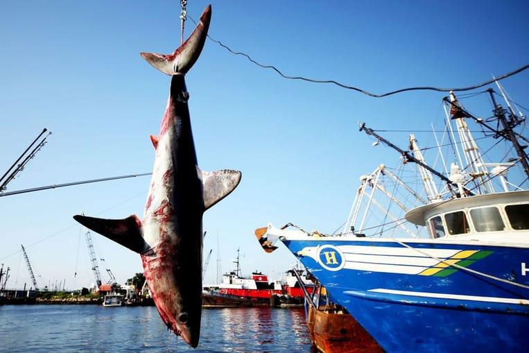 Les requins valent plus vivants que morts