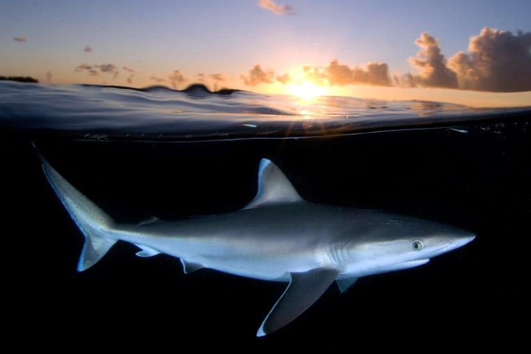 Comment les requins dorment-ils ?