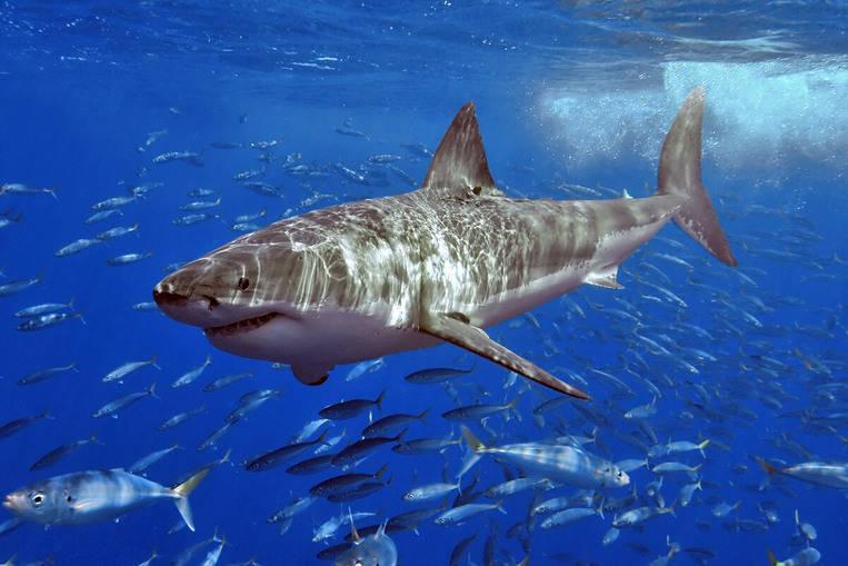 Les requins sont simplement cool, même s'ils ne nous aident pas
