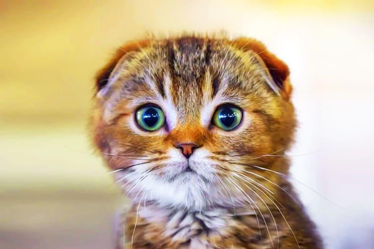 TOP 10: Les races de chats les plus chères au monde