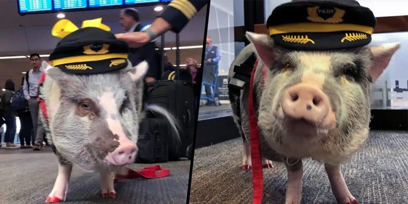 Lilou le cochon de thérapie de l'aéroport de San Francisco