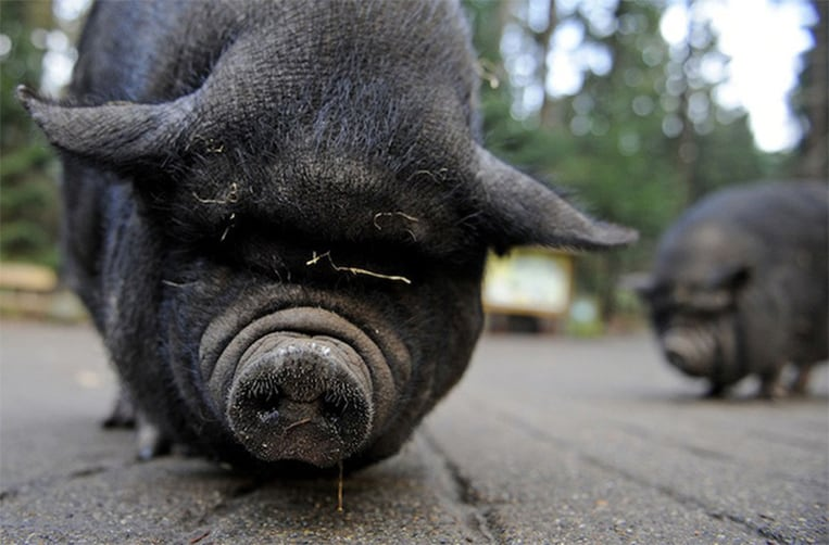 Lulu le cochon vietnamien