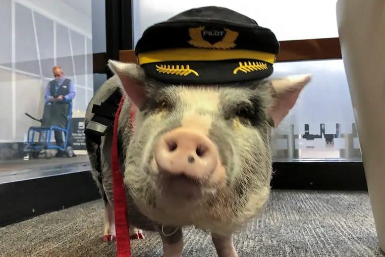 L'aéroport de San Francisco abrite un cochon qui aide les passagers stressés