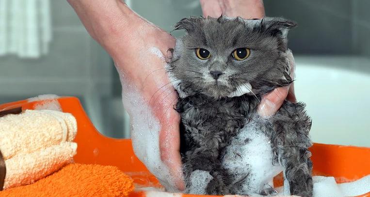 Laver un chat avec du shampoing pour humain