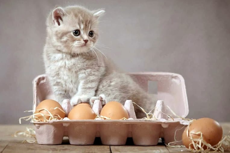 Les chats peuvent-ils manger des oeufs ?