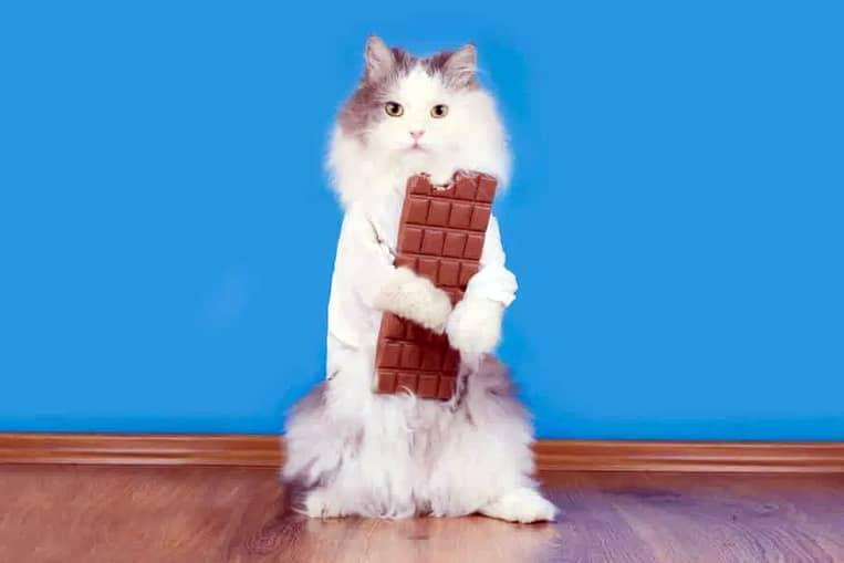 Les chats peuvent-ils manger du chocolat ?