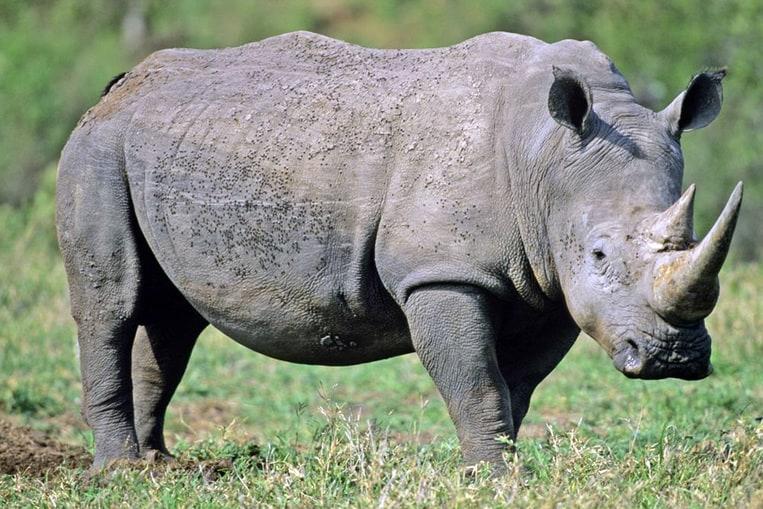 Le Rhinocéros de Java