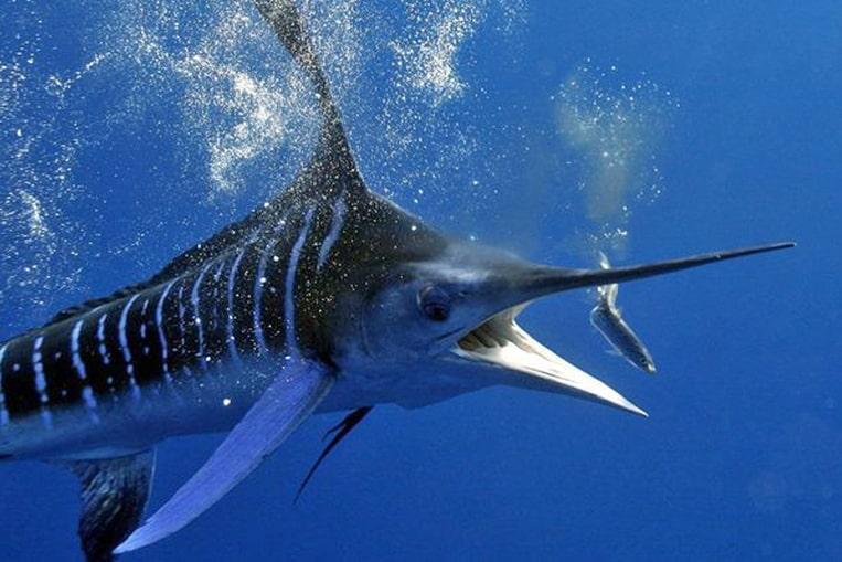 TOP 10: Les poissons les plus rapides du monde